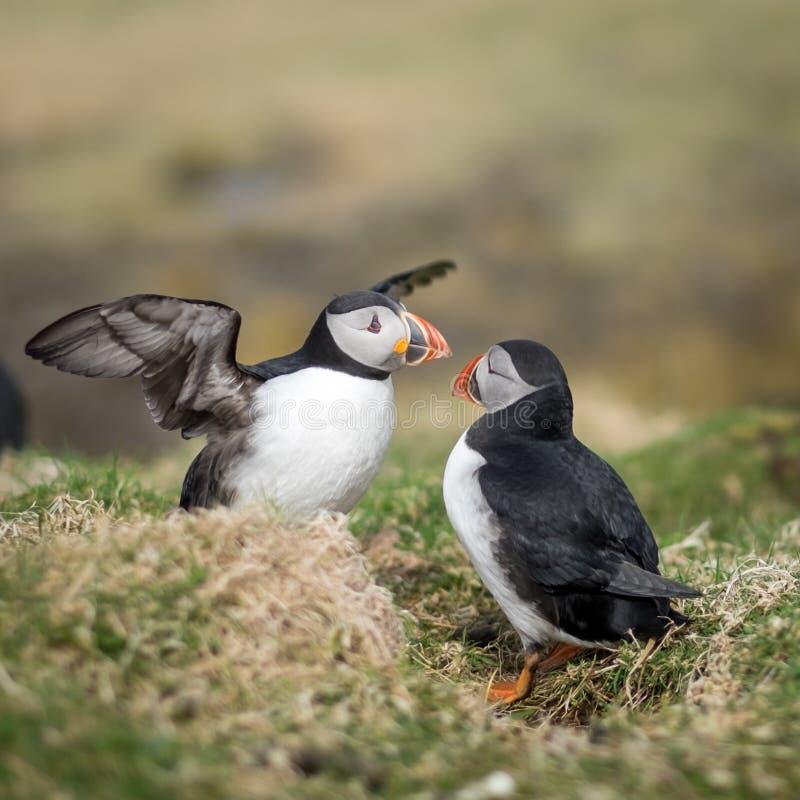 Zwei Papageientaucher, die auf der schottischen Insel von Lunga aufeinander einwirken Flache Sch?rfentiefe lizenzfreie stockfotografie