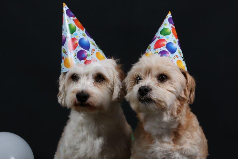 Zwei Parteihunde stockfotos
