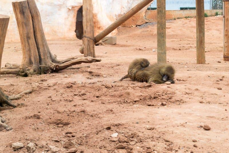 Zwei Paviane in einem Zoo lizenzfreies stockbild