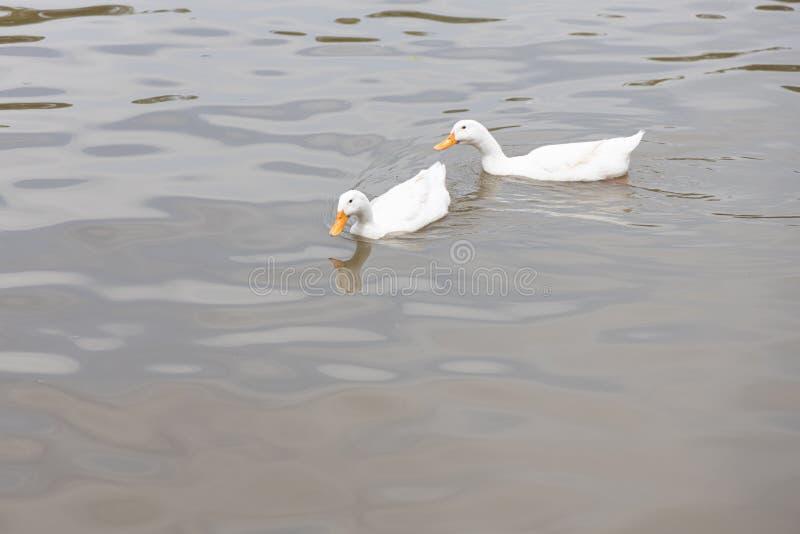 Zwei Pekin oder weiße Pekin-Enten stockfoto