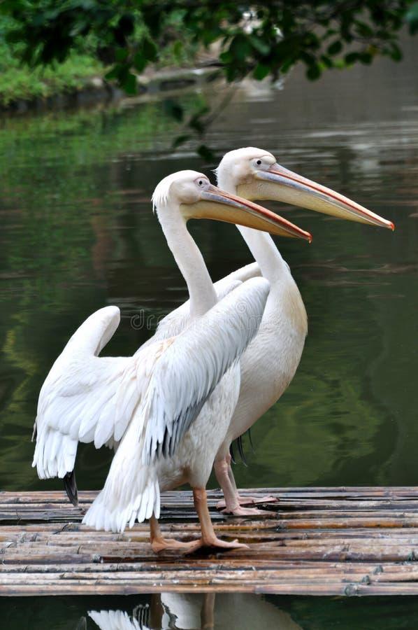 Zwei Pelikane Auf See Stockfotos