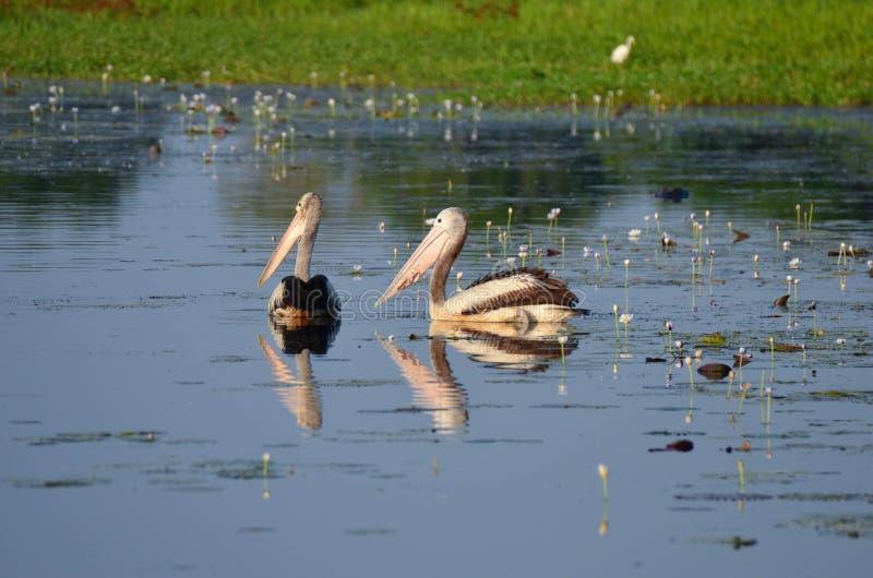 Zwei Pelikane, die neben einander im Gelber Fluss kakadu Nationalpark Australien schwimmen stockfotografie