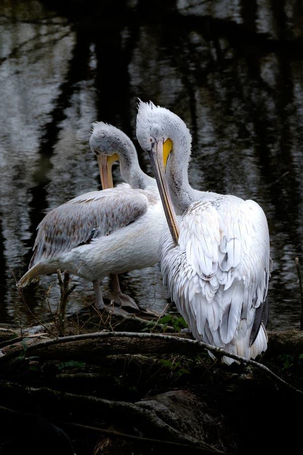 Zwei Pelikane, die sich säubern lizenzfreies stockfoto