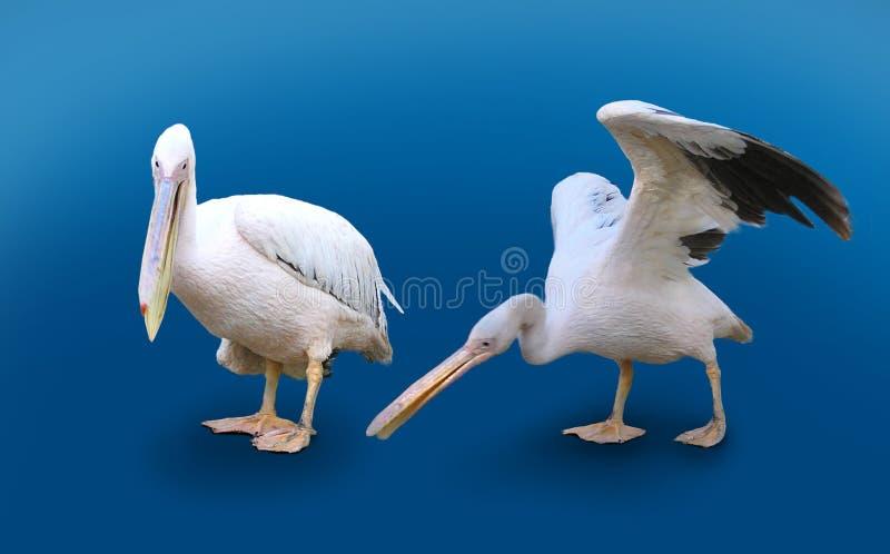Zwei Pelikane getrennt auf blauem Hintergrund stockfoto