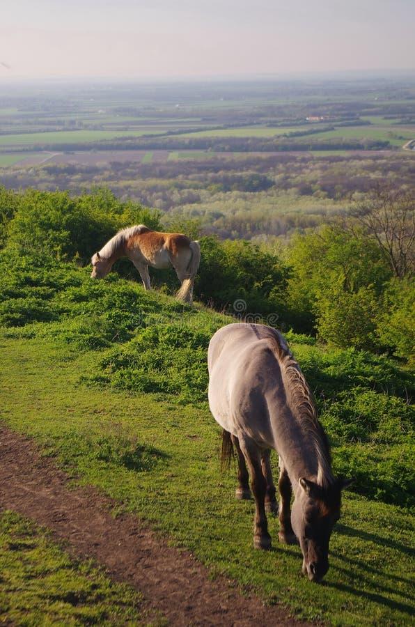 Zwei Pferde auf der Wiese, sch?nes Naturpanorama mit Pferden stockbild