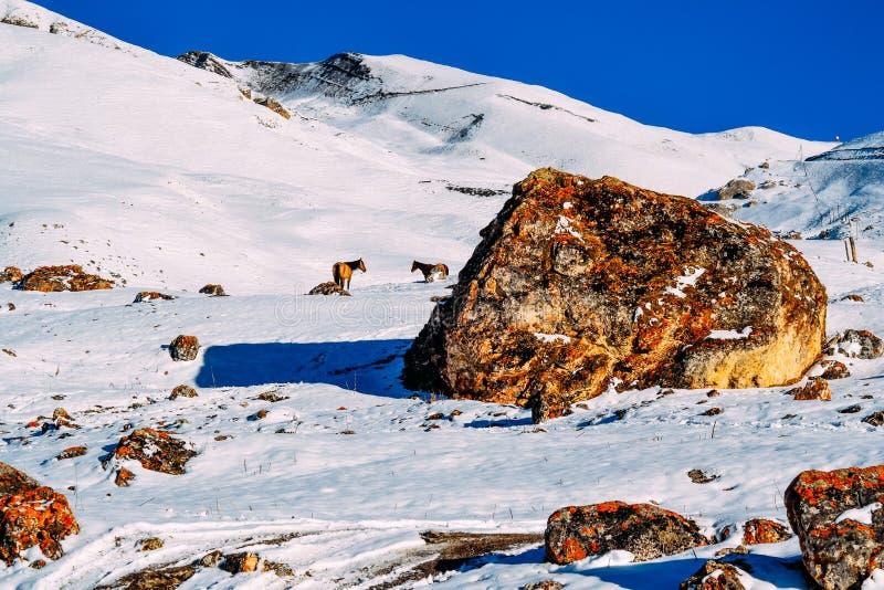 Zwei Pferde auf einem Schneeberg in der Tageszeit stockfotos