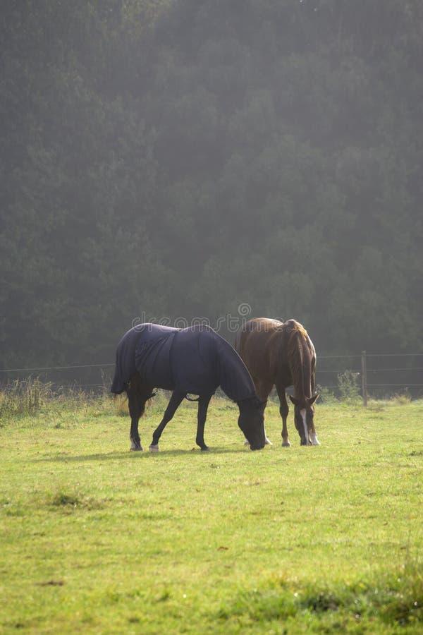 Zwei Pferde auf Wiese im Morgennebel lizenzfreie stockfotografie