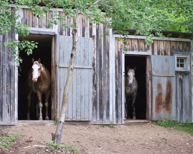 Zwei Pferde in den Ställen stockbild