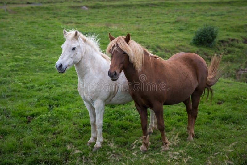 Zwei Pferde der isländischen Zucht im vollen Wachstum stockfoto
