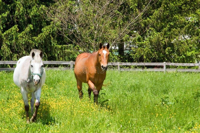 Zwei Pferde in der Weide lizenzfreies stockfoto