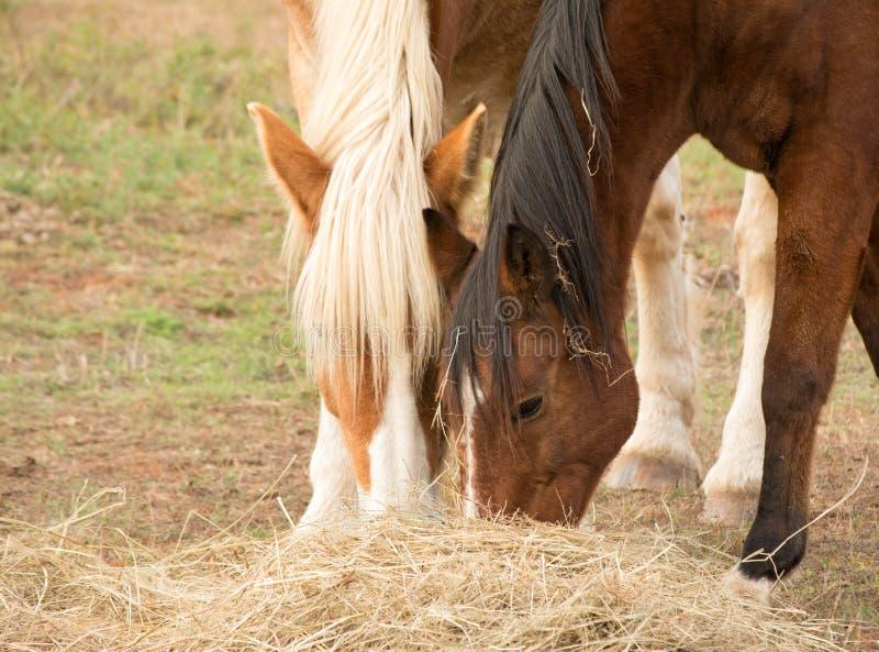 Zwei Pferde, die Heu weg vom Boden essen lizenzfreie stockfotos