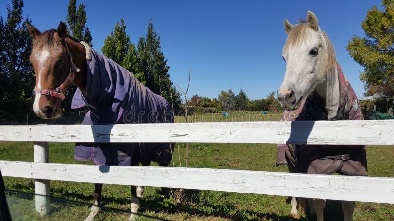 Zwei Pferde, die Kleidungsstand hinter Zaun tragen stockfoto