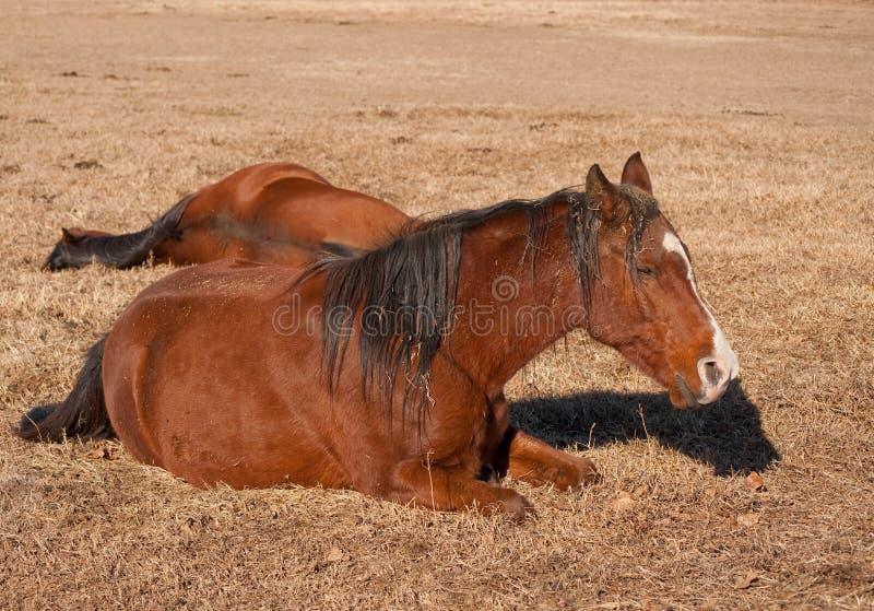Zwei Pferde, die sich, ihr Nachmittag ein Schlaefchen halten hinlegen lizenzfreies stockbild