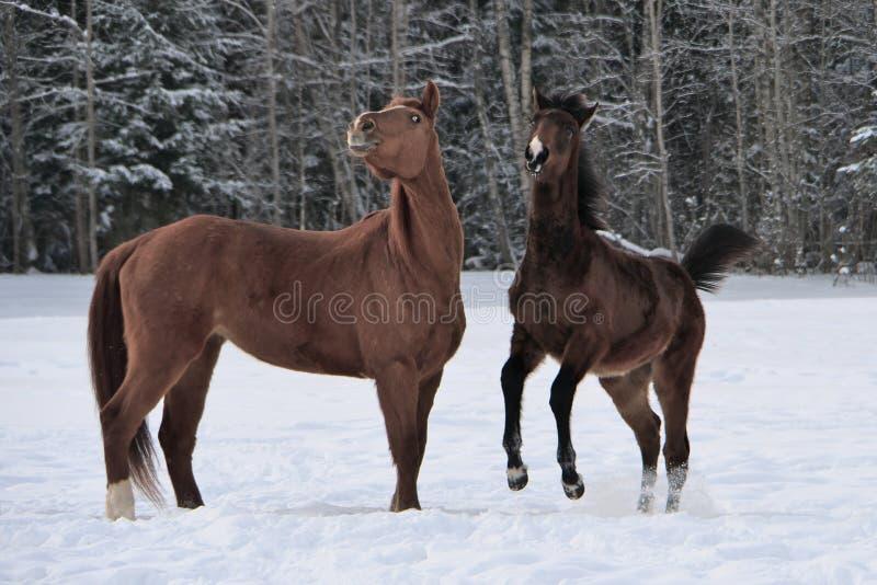Zwei Pferde, welche die Wintermäntel spielen in Schnee bedeckter Koppel tragen stockbild