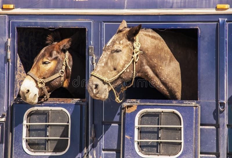 Zwei Pferdeköpfe, die aus Fenstern des alten rostigen Viehbestandanhängers - Nahaufnahme heraus haften lizenzfreie stockbilder