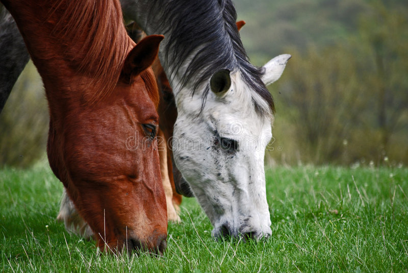 Zwei Pferdenköpfe lizenzfreie stockbilder