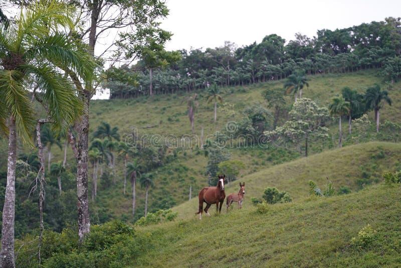 Zwei-Pferdestellung im Abstand mit Wald im Hintergrund int er Dominikanische Republik stockbild