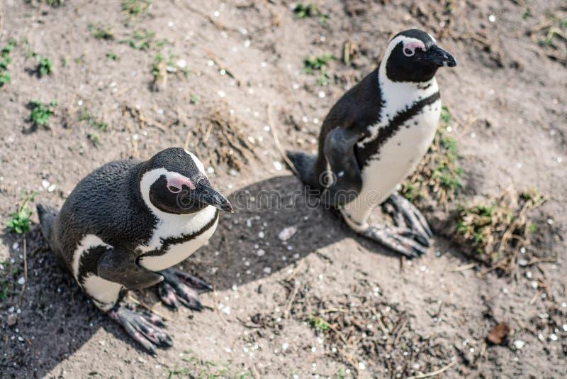 Zwei Pinguine auf Erbauerstrand in Südafrika lizenzfreie stockfotos