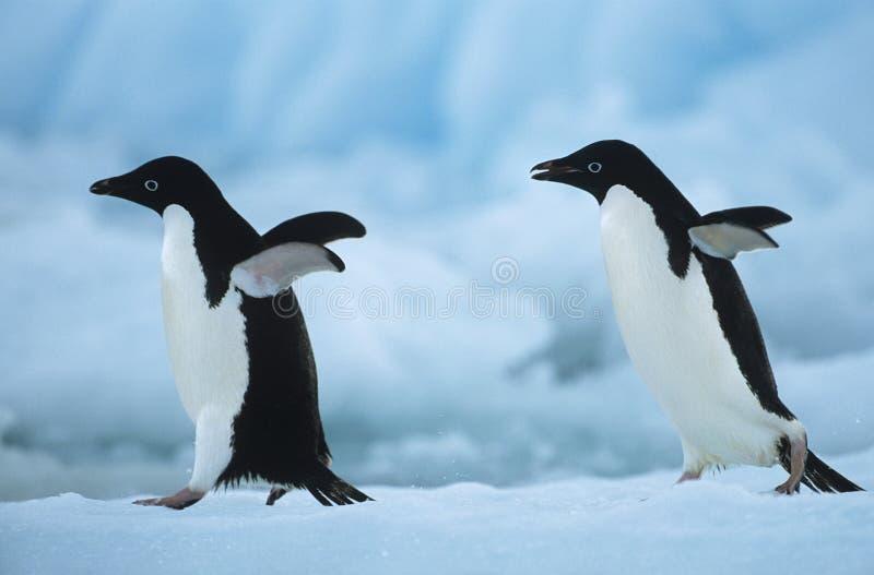 Zwei Pinguine auf Schnee lizenzfreie stockbilder