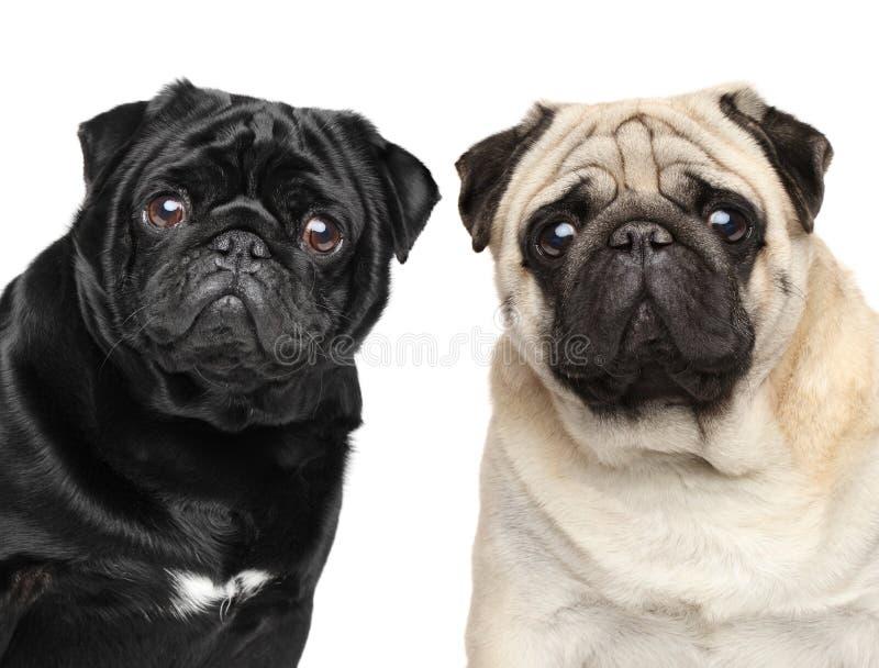 Zwei Pugs Porträt auf weißem Hintergrund stockfotos