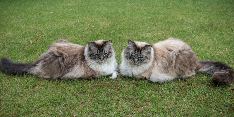 Zwei Ragdoll Dichtungs-Luchs Tabby Cats Sitting Together On ein Gras-Rasen lizenzfreie stockfotografie