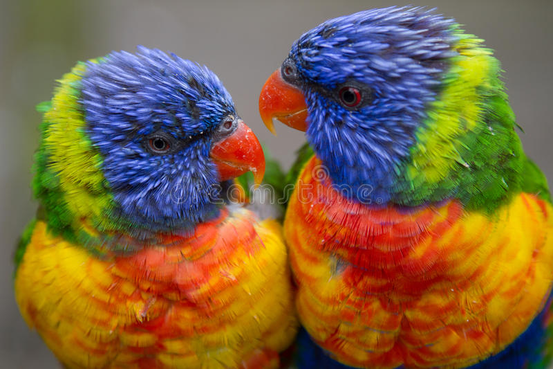 Zwei Regenbogen Lorikeets lizenzfreie stockfotos