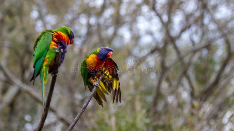 Zwei Regenbogen lorikeets Putzen gehockt auf einem Zweig lizenzfreie stockfotos