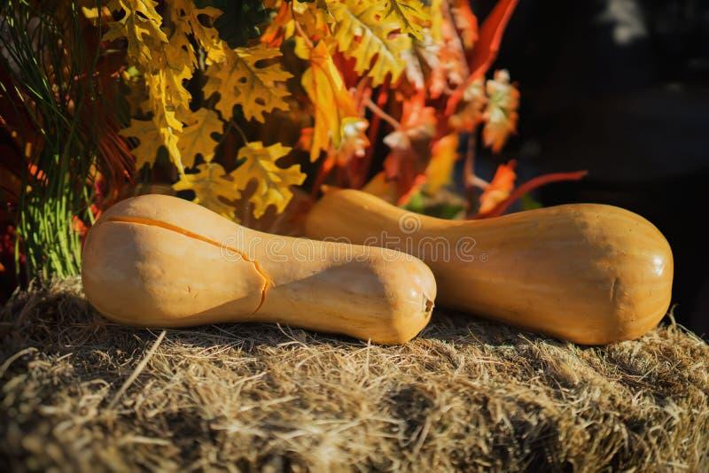 Zwei reife Kürbise, Zucchini, Kürbis beleuchteten durch Herbstsonne, auf trockenem Stroh Symbol von Feiertagen, besonders am Dank stockbild