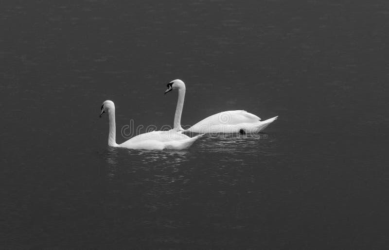 Zwei Reinweißschwäne, die nebeneinander auf einem dunklen See, schwarz schwimmen stockbild