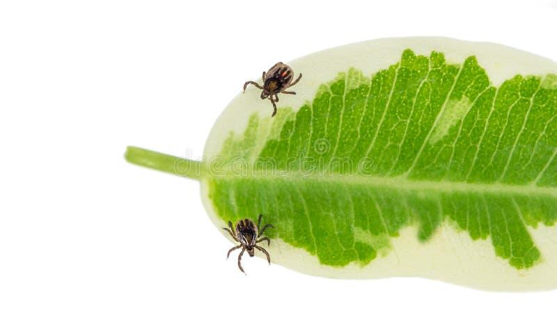 Zwei Rizinuspflanzezecken auf einem grünen Blatt Ixodes Ricinus lizenzfreie stockbilder