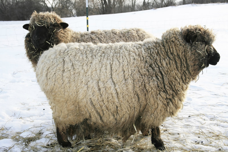 Zwei Romney Schafe. lizenzfreie stockbilder