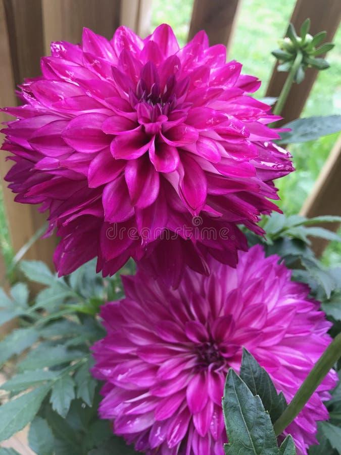 Zwei rosa Dahlienblumen stockbilder