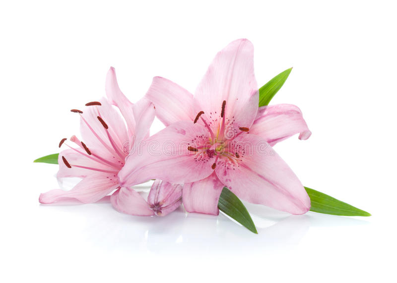 Zwei rosafarbene Lilienblumen stockfotos