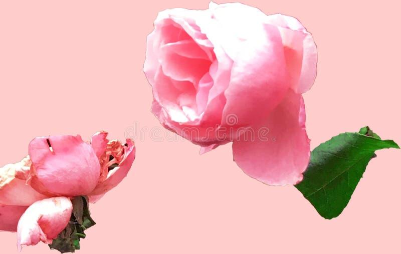 Zwei Rosen in der Liebe lizenzfreie stockbilder