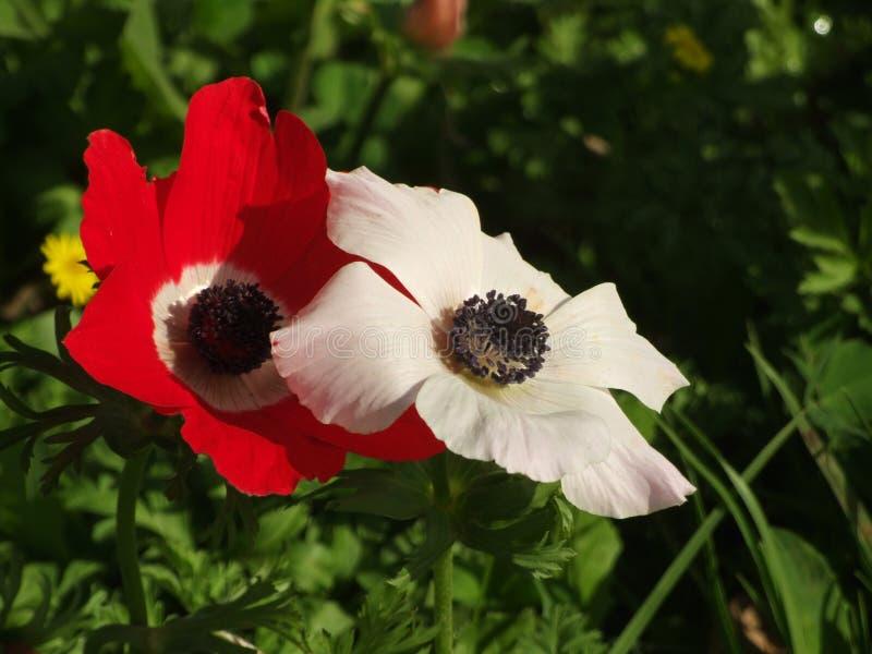 Zwei rot und weiße Anemonenblumen lizenzfreie stockfotografie