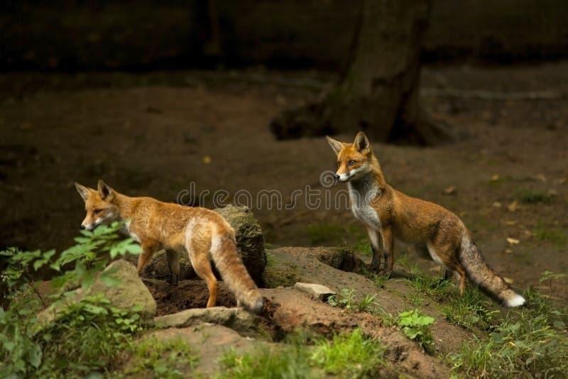 Zwei rote Füchse, die heraus überwachen lizenzfreie stockfotografie