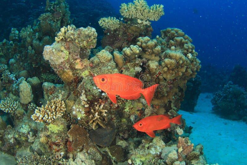 Zwei rote Fische auf Korallenriff mit Steinkorallen stockfotos