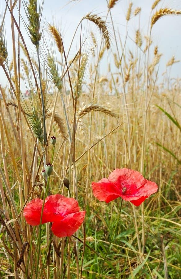 Zwei rote Mohnblumen mitten in einem Feld des reifen Weizens stockbilder