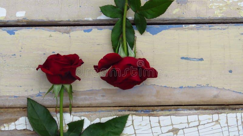 Zwei rote Rosen auf rustikalem Artholzhintergrund Alte hölzerne Beschaffenheit mit der Schale der blauen und weißen Farbe stockfoto