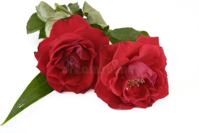 Zwei rote Rosen, die gerade beginnen zu verwelken lizenzfreie stockbilder