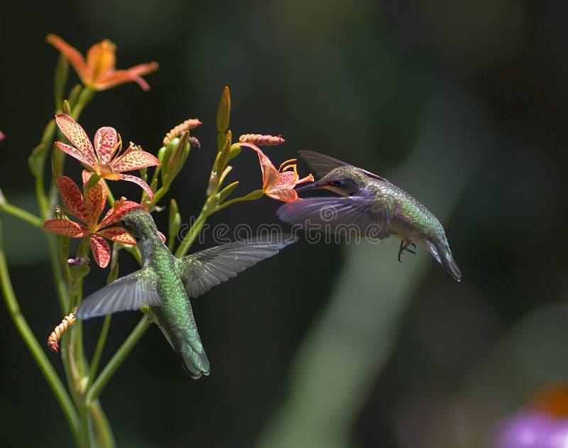Zwei Rubin-Throated Kolibris lizenzfreie stockfotos