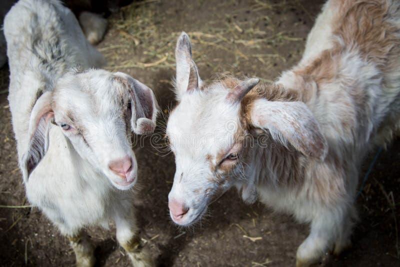 Zwei süße kleine Babyziegen im Hinterhof, in einem Bauernhof, villiage Szene, ländlich, Viehbestandtiere lizenzfreie stockfotos