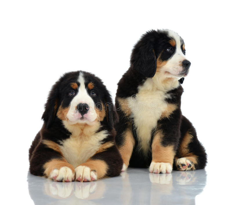 Zwei süßes Berner Sennenhund oder Bernese-Gebirgswelpensitzen stockbild