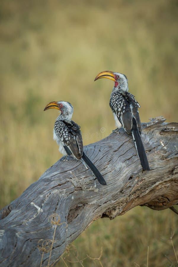 Zwei südliche gelb-berechnete Hornbills nebeneinander auf Klotz stockbilder