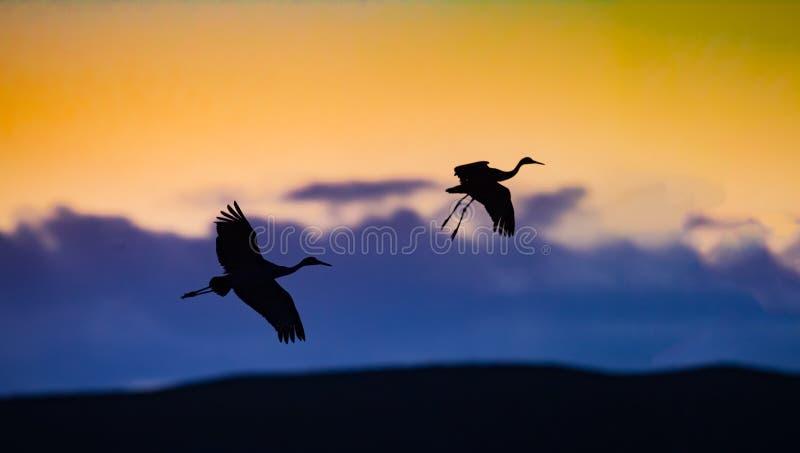 Zwei sandhill Langläufer herein für die Landung in Bosque im New Mexiko stockfotos