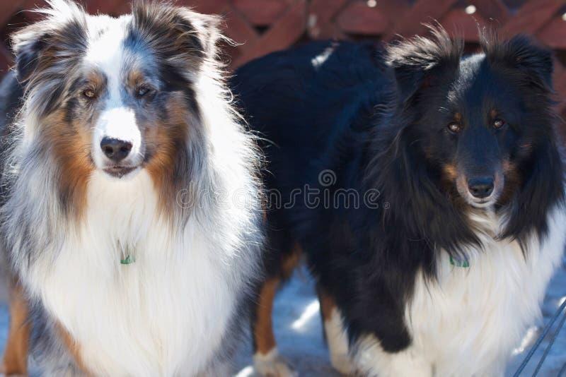 Zwei Schäferhunde stockfotos