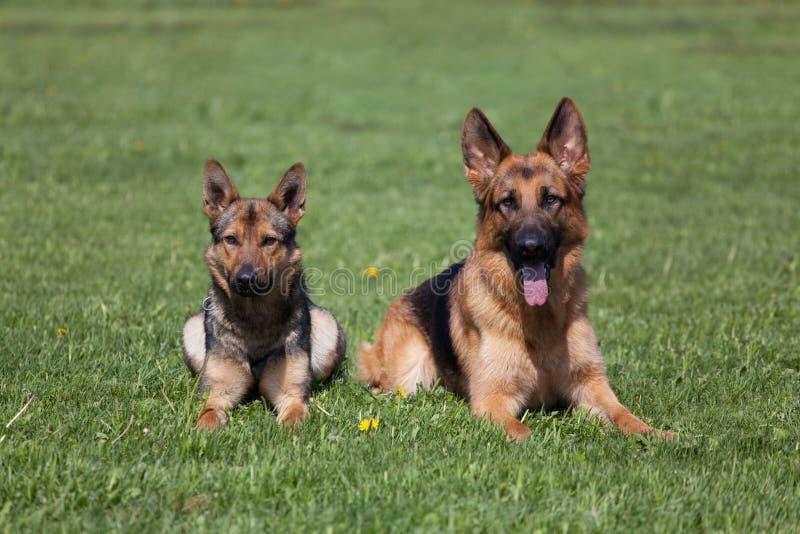 Zwei Schäferhunde lizenzfreies stockbild