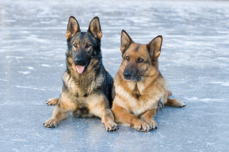 Zwei Schäferhunde lizenzfreie stockfotografie