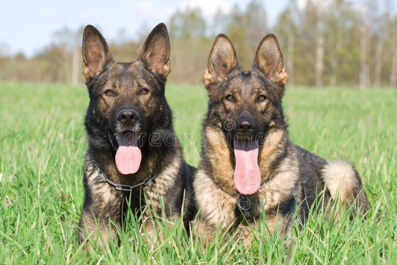 Zwei Schäferhunde stockbilder