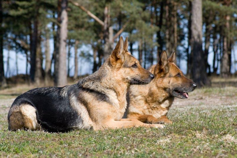 Zwei Schäferhunde, die auf das Gras legen stockbild